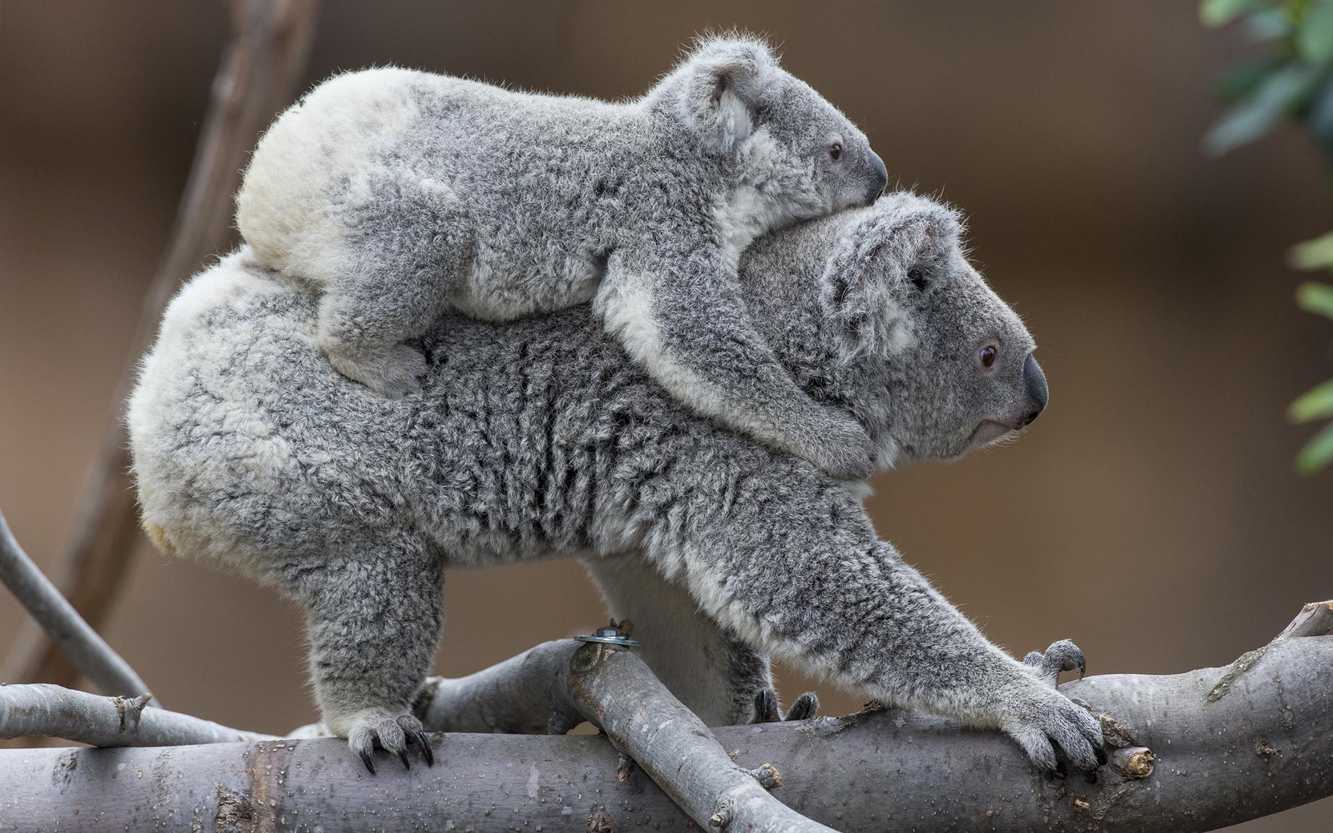 Коалы, расцепляйтесь с детенышами! 837228-koala-wallpaper