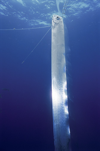 Does this photo prove Nessie exists? Oarfish1