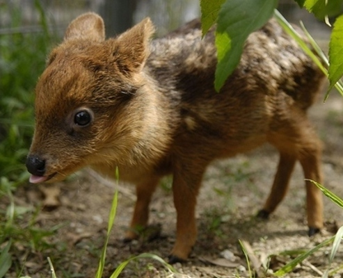 Feelgood Animals mk. whatever - Page 2 One-month-old-pudu-deer-is-frightfully-adorable-2