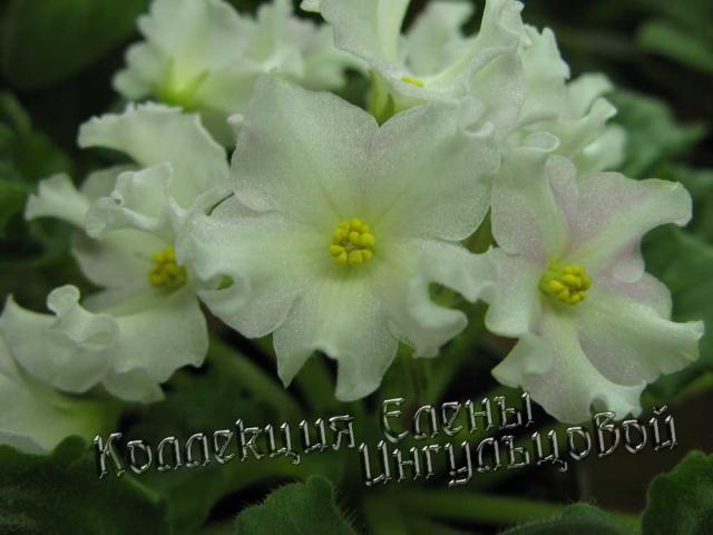 Мои фиалушки Golden-autumn-2010-1