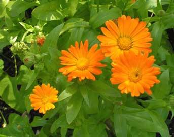 Plantas que curan.. Calendula-officinalis