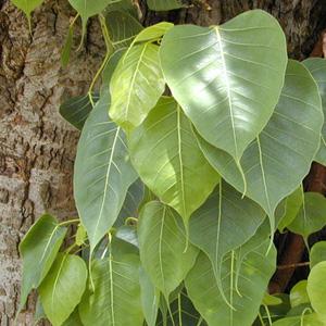 شجرتك من تاريخ ميلادك ....... Ficus-religiosa