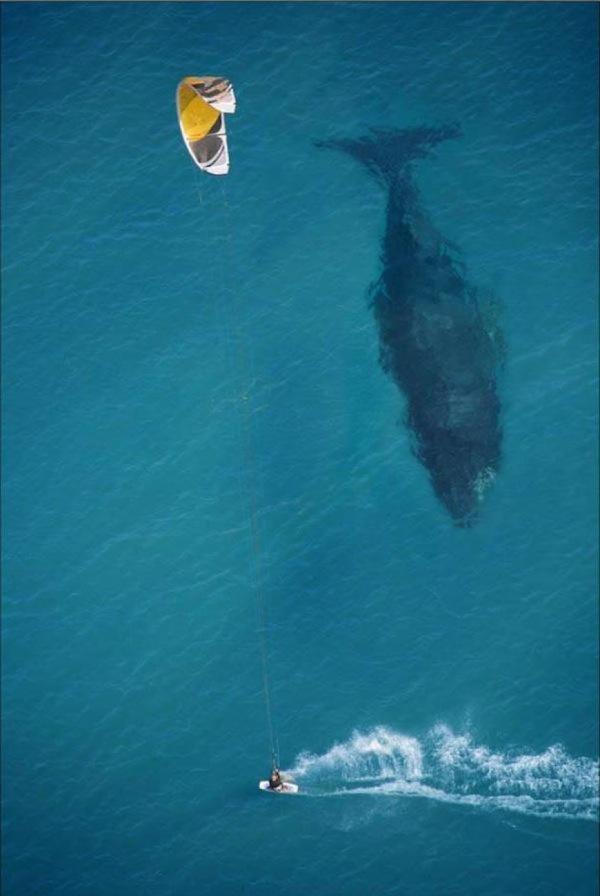 Зимний кайтовый сезон и летний. - Страница 12 2485405-R3L8T8D-600-un-kitesurfeur-saute-par-dessus-une-baleine