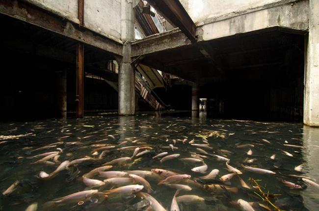 23 фотографии, в которые трудно поверить 7566210-R3L8T8D-650-flooded-abandoned-mall-with-fish-bangkok-thailand