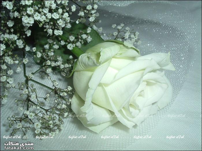 ورد ابيض اجمل الورود البيضاء