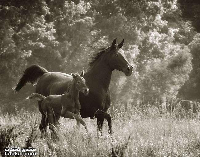 عالم الخيول.........مين بيحب الخيول؟؟؟؟؟؟؟؟؟؟ 1271110625