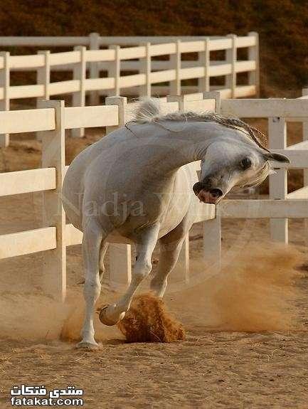 عالم الخيول.........مين بيحب الخيول؟؟؟؟؟؟؟؟؟؟ 1271110916