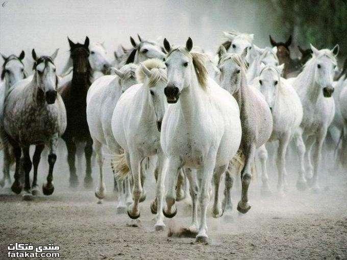 عالم الخيول.........مين بيحب الخيول؟؟؟؟؟؟؟؟؟؟ 1271111576