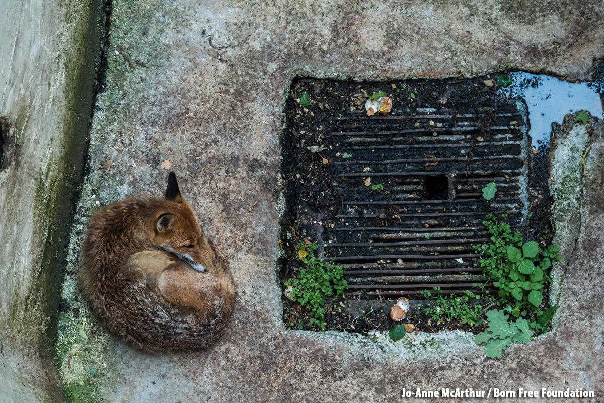 Animales - Naturaleza 2017-08-02-redfoxfulljoannemcarthur