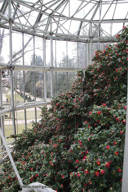 Camellia - Kamelien - Seite 2 F24t963p36923n6