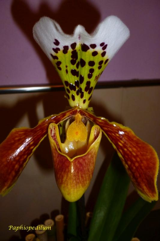 Orchideen-Neuzugang - Seite 39 F71t9383p431704n3_WvlkifVL