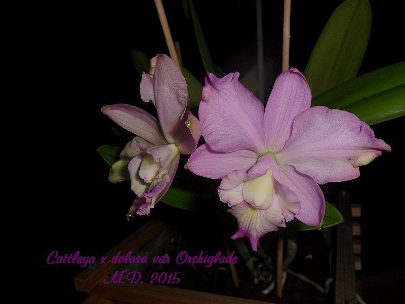 Cattleya dolosa - Seite 2 Pictures_u10479_LyHaPBoS