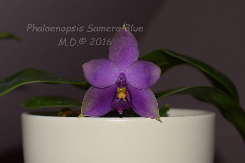 Phalaenopsis bellina x violacea (Samera) - Seite 2 Pictures_u13940_scQKXykv