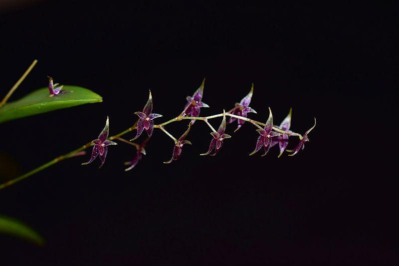 Miniatur-Orchideen Teil 6 - Seite 3 Pictures_u40203_dTLVNvok