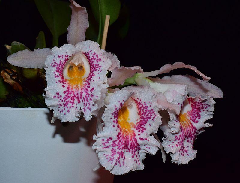 Trichopilia suavis - Seite 2 Pictures_u44062_FIsNVWfv