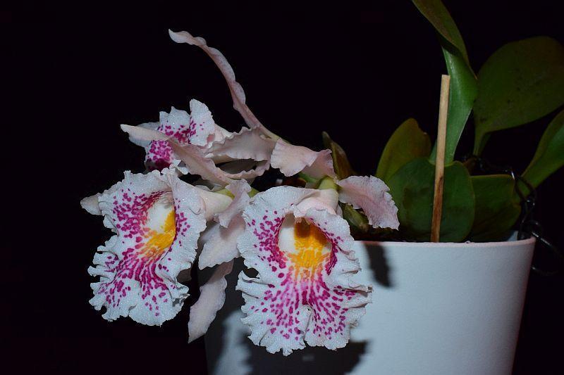 Trichopilia suavis - Seite 2 Pictures_u44063_qPRbgrVk