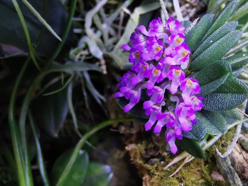 Schoenorchis - die Gattung der Microorchideen Pictures_u46146_YCLnacGJ