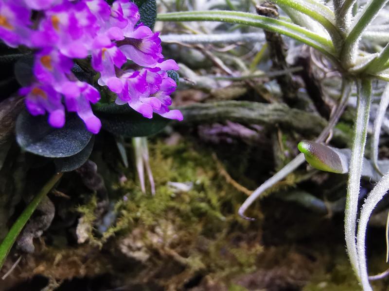 Schoenorchis - die Gattung der Microorchideen Pictures_u46148_CjlctuOK