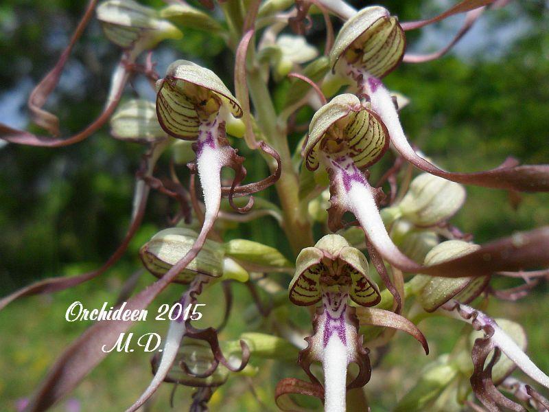 Einheimische Orchideen am Standort - Seite 2 Pictures_u8802_bXKMnGCt