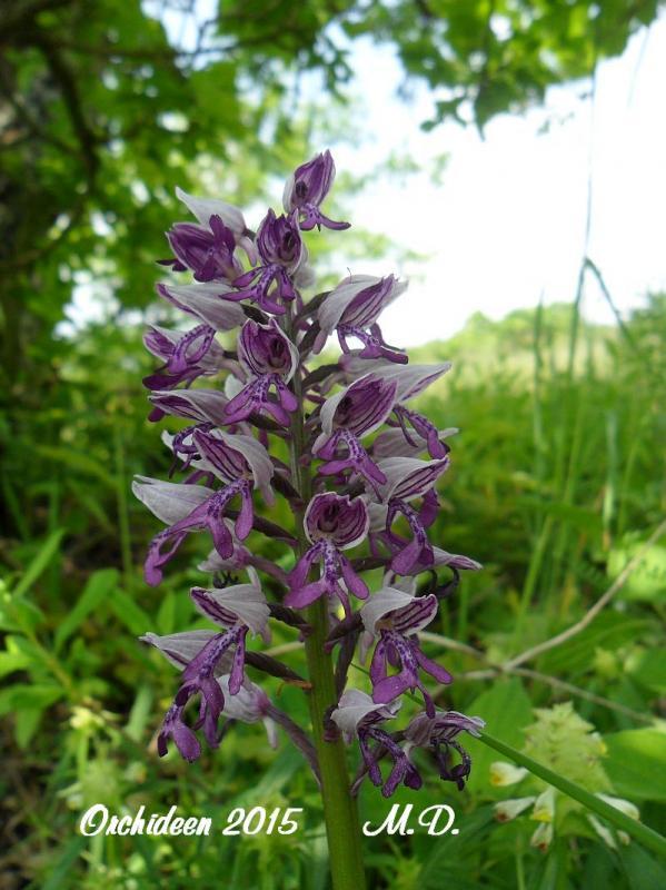Einheimische Orchideen am Standort - Seite 2 Pictures_u8804_dkoUspuO