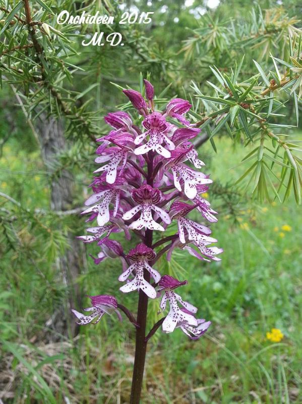 Einheimische Orchideen am Standort - Seite 2 Pictures_u8806_FmEpcVaK