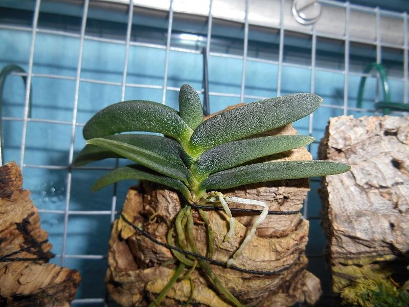 Angraecum aloifolium Pictures_u9439_MoyPtabJ