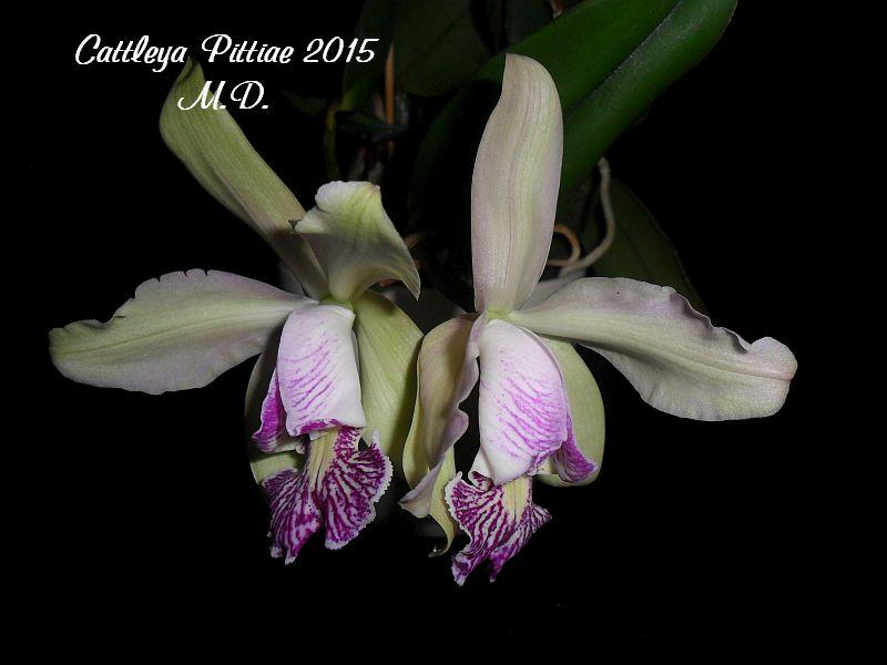 Cattleya pittiae ? Pictures_u9457_vfmHAKCG