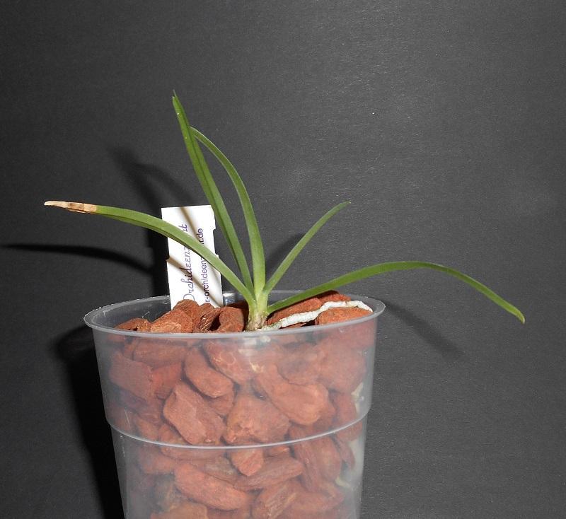 Angraecum species Pictures_u9503_wotXCRrL