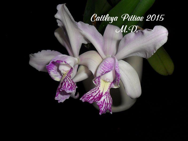 Laelia und Cattleya Hybriden - Seite 21 Pictures_u9514_GrsCDIkE