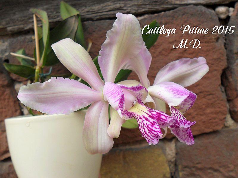 Laelia und Cattleya Hybriden - Seite 21 Pictures_u9515_eJcIEWDL