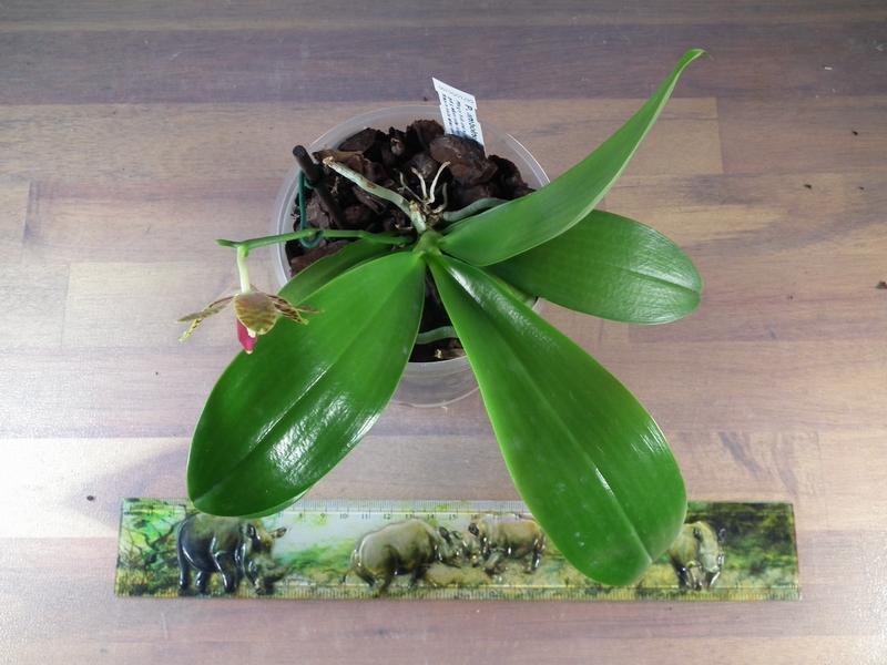 Phalaenopsis amboinensis x pulchra Pictures_u3220_7a707f