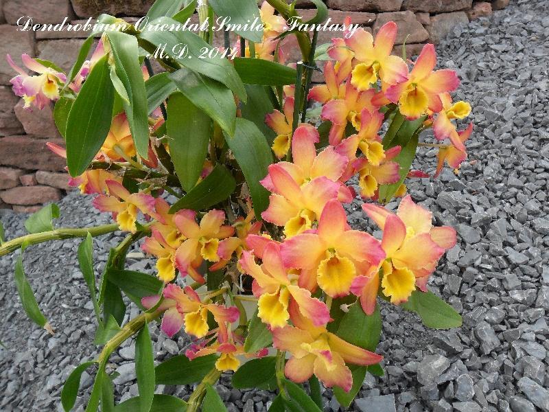 Dendrobium nobile Hybride - Seite 3 Pictures_u6618_d92bea