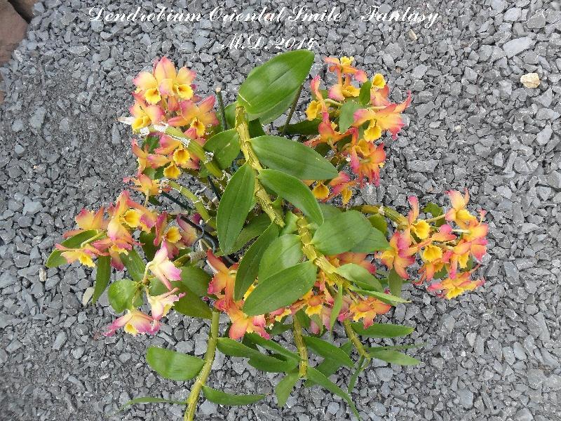 Dendrobium nobile Hybride - Seite 3 Pictures_u6619_bcc122