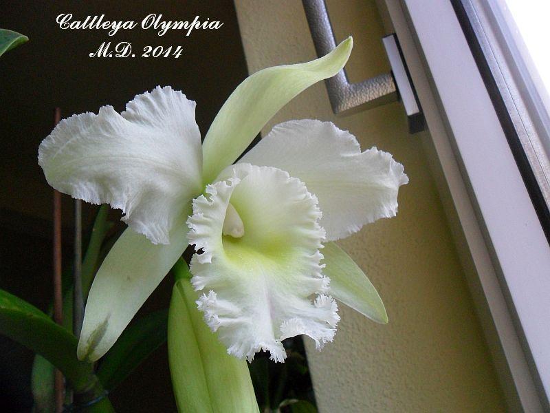 Cattleya Olympia Pictures_u7292_ZlOtVvTr
