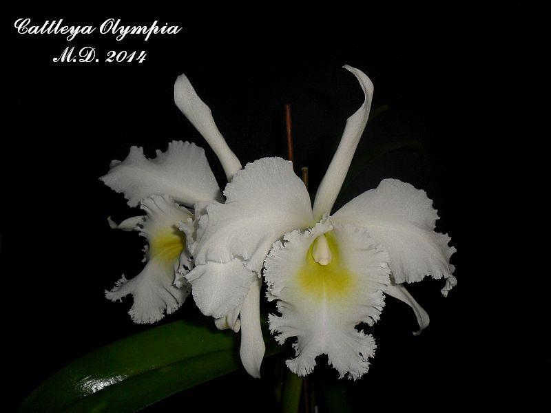 Cattleya Olympia Pictures_u7318_YAPiELhS