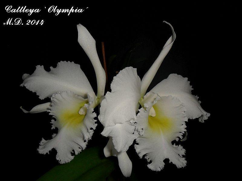 Cattleya Olympia Pictures_u7319_VkgzjRyi