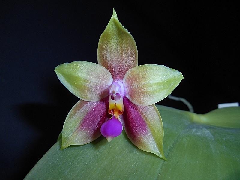 Phalaenopsis amboinensis x bellina  / Guadalupe Pineda Pictures_u8239_kRqFoUQj