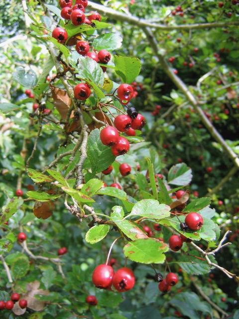 Tourisme : récolter des fruits de saison en forêt de Fontainebleau  IMG_8628