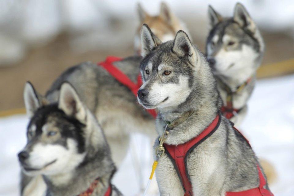 Championnats d'Europe de chiens de traîneaux du 23 au 26 février 2012 à Gryon (Suisse). 689554_pic_970x641