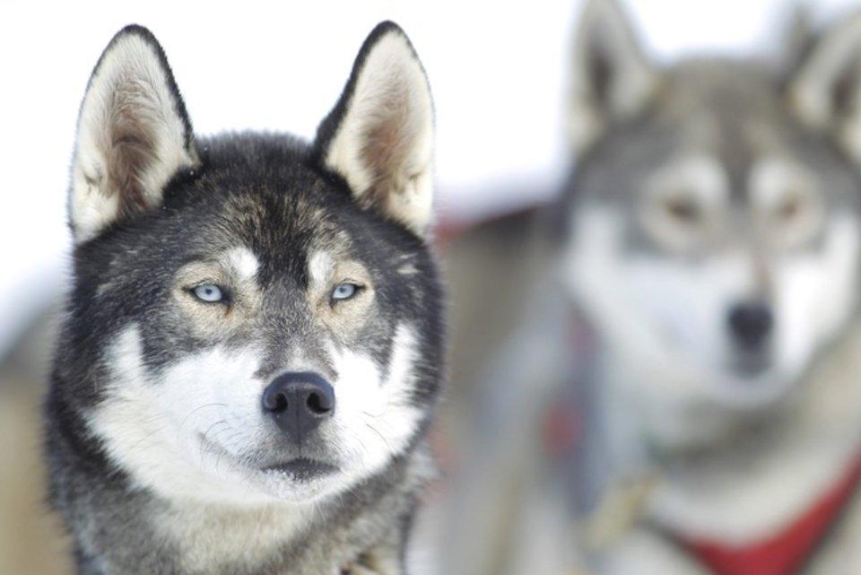 Championnats d'Europe de chiens de traîneaux du 23 au 26 février 2012 à Gryon (Suisse). 689556_pic_970x641