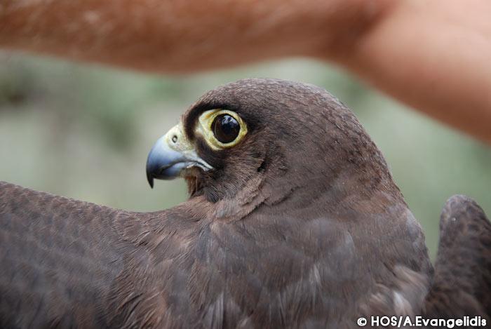 Falconiformes. sub Falconidae - sub fam Falconinae - gênero Falco L_falco_eleonorae_evangelidis