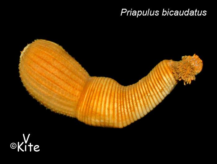 l'image insolite -  blucat - 11août arrachée de force par martine Priapulida