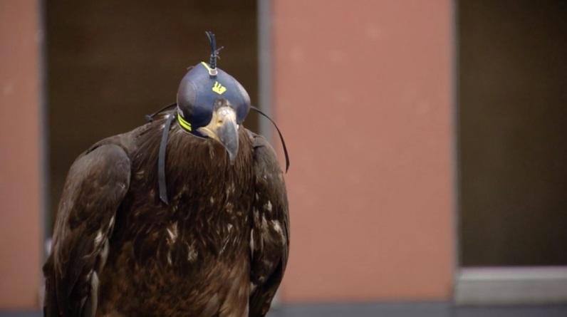 águias utilizadas para capturar drones