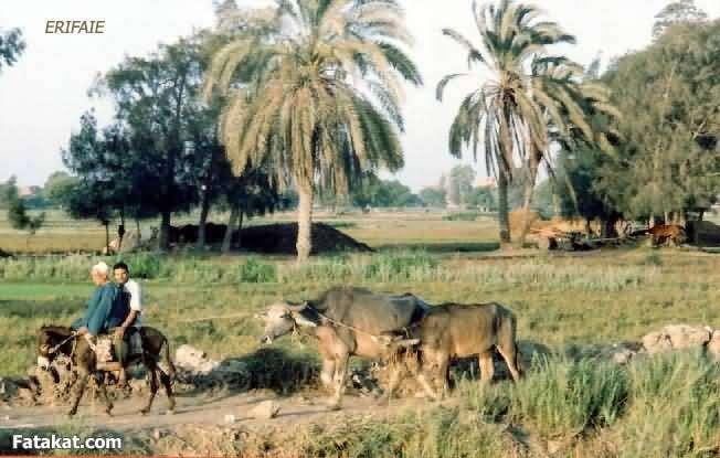 جمال الريف المصري 13830968768153