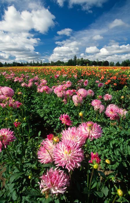 BILDES.. GLEZNAS.. Skaistais.. Dahlia-flowers-in-field-rich-iwasaki