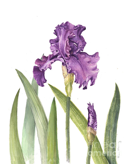 official burial observation thread - Page 3 Purple-iris-fran-henig
