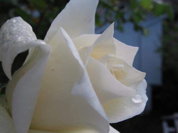 قطرات الندى White-rose-with-dew-drops-kathy-roncarati
