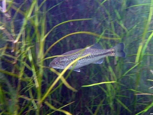 Imágenes subacuáticas de la Lobina / Bass Micropterus_salmoides_at_gtm