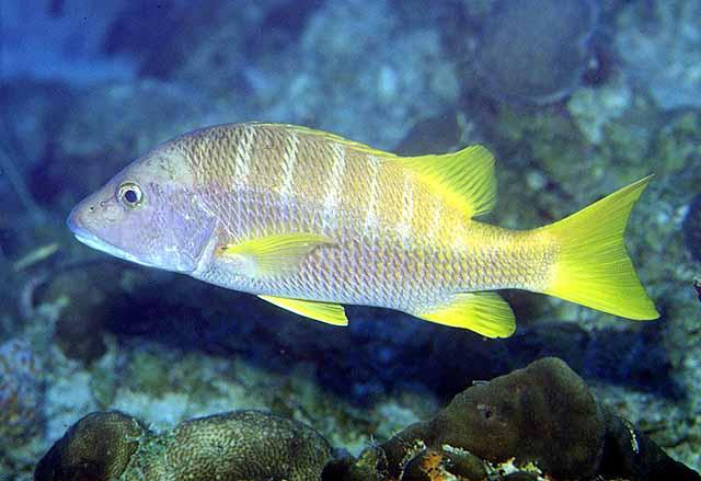 La Pesca del Pargo (Lutjanus Sp.) por José Manuel López Pinto  / Actualizado al 17/10/11 Luapo_u4
