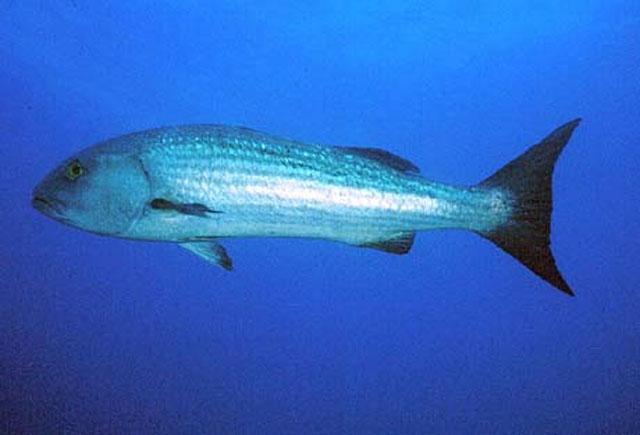 La Pesca del Pargo (Lutjanus Sp.) por José Manuel López Pinto  / Actualizado al 17/10/11 Luara_u2